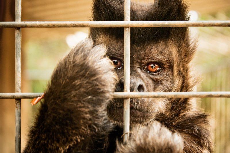 Обезьяна в австралийском частном зоопарке