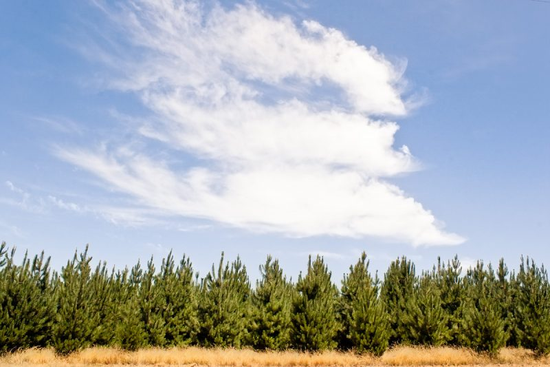 Сосновый лес вдоль австралийской дороги