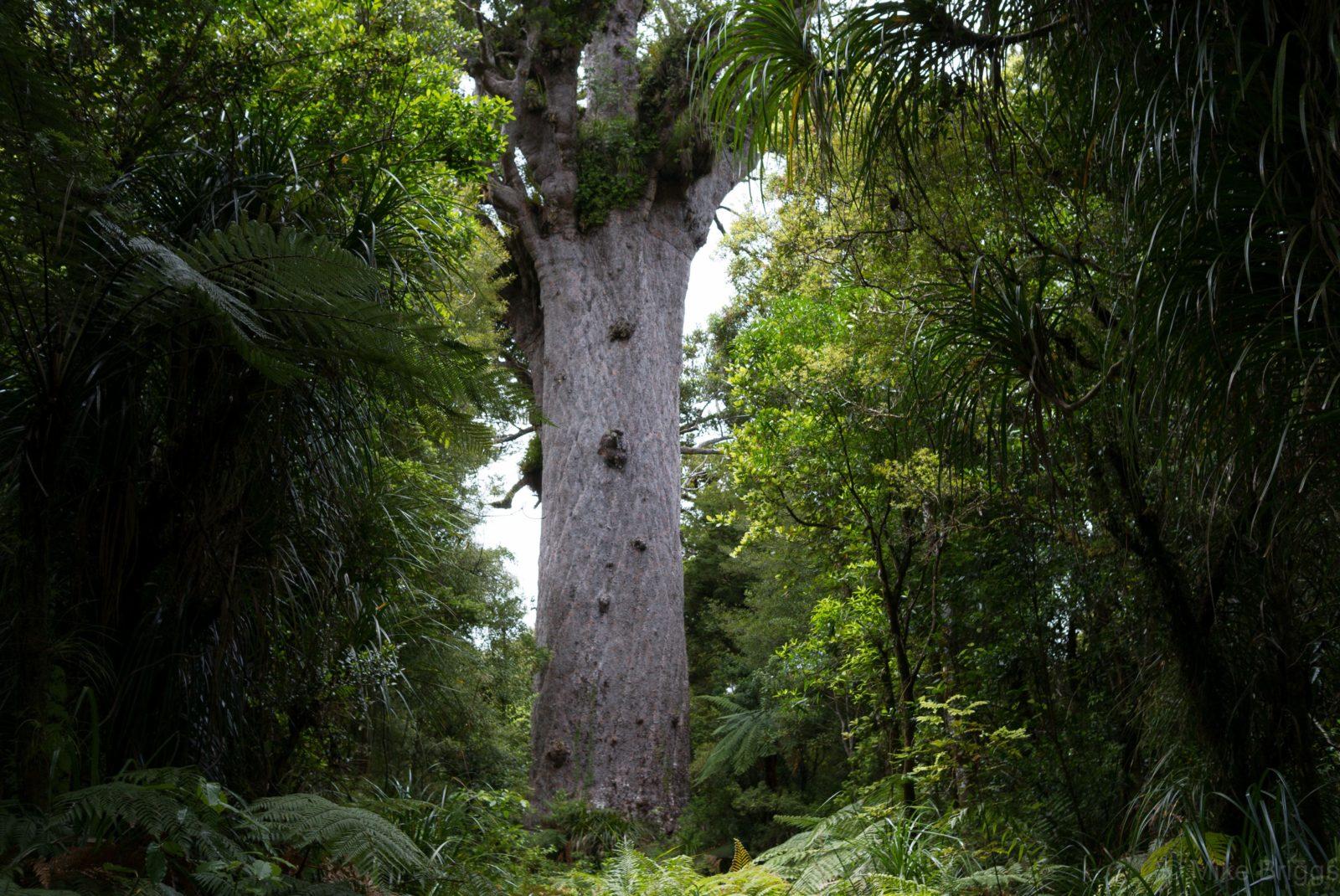 Tane-Mahuta-Kauri-Tree-Waipoa-Forest
