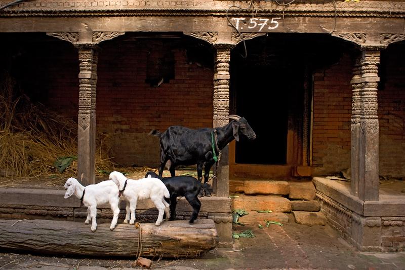 Семья козлов
