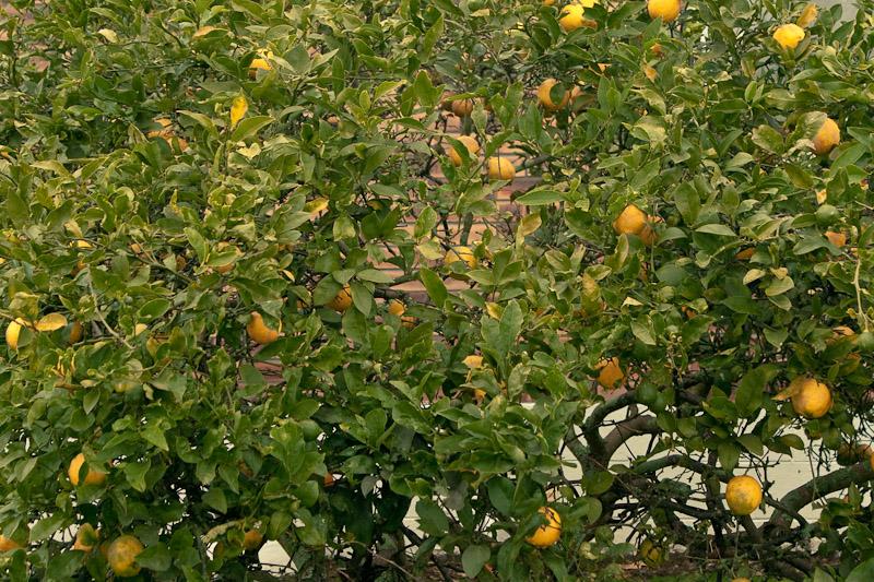 Цитрусовое дерево