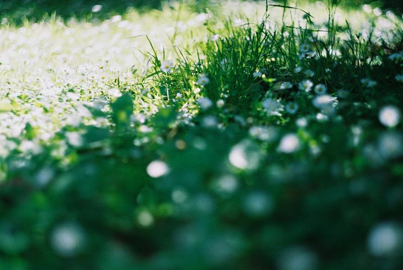 Трава с ромашками. В Новой Зеландии весна.
